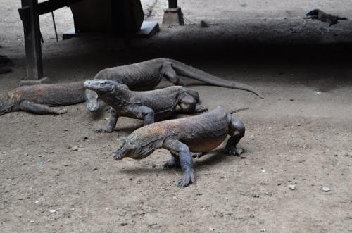 Warany, czyli smoki z Komodo